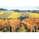 ARTPIC_Vineyardgenericautumn